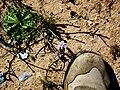 Moraea setifolia (13).jpg