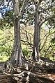 Moreton Bay Fig trees (Ficus macrophylla), National Tropical Botanical Garden, Kauai, Hawaii.jpg