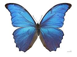 Lepidoptera Wikipedia La Enciclopedia Libre
