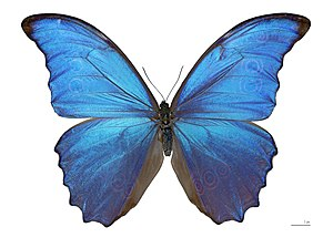 Biomimetics - Vibrant blue color of Morpho butterfly due to structural coloration