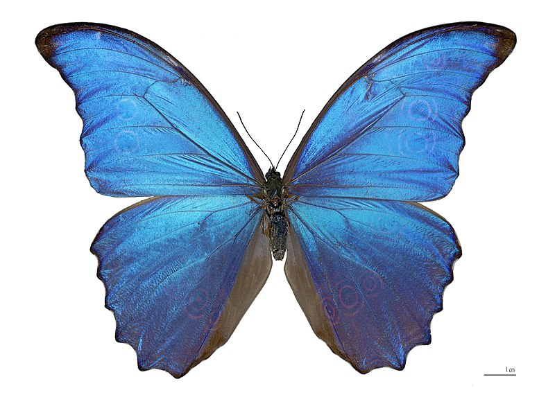 These butterly wings, are able to reflect light so that specifice wavelenghts interfere with eachother to create bright colours. The same idea was applied to display screens like on an ipod