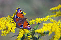 Motylek na łące w Jaworznie.JPG