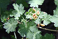 Mountain gooseberry Ribes montigenum flowers.jpg