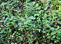 Mrzezyno reserve Vaccinium myrtillus 2010-07.jpg