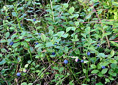 Mrzezyno reserve Vaccinium myrtillus 2010-07