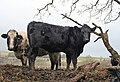 Muddy cattle - geograph.org.uk - 681593.jpg