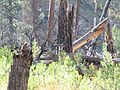 Mule deer at Lake Creek.jpg