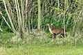 Muntjac - Lackford Lakes (26128675733).jpg