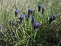 Muscari armeniacum plant3 ST (14999563623).jpg
