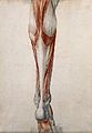 Muscles and tendons of the lower leg and foot, seen from beh Wellcome V0008270.jpg