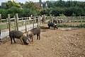 Museum of Kent Life - pigs - geograph.org.uk - 1512417.jpg