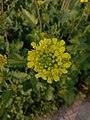 Mustard Flower .jpg