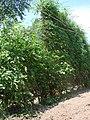 My Tomato Experiment - panoramio.jpg