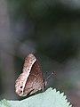 Mycalesis sudra (Nymphalidae) - Bush Brown.jpg