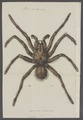 Mygale - Print - Iconographia Zoologica - Special Collections University of Amsterdam - UBAINV0274 068 14 0008.tif