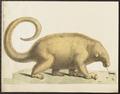 Myrmecophaga didactyla - 1700-1880 - Print - Iconographia Zoologica - Special Collections University of Amsterdam - UBA01 IZ21000031.tif