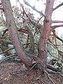 Mystische Kiefer am Heegesee - panoramio.jpg