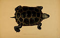 N158 Sowerby & Lear 1872 (malaclemys terrapin).jpg