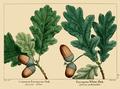 NAS-002a Quercus robur.png