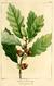 NAS-011f Quercus prinoides.png