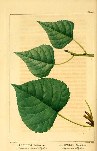 File:NAS-096f Populus deltoides.png
