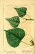 NAS-096f Populus deltoides.png