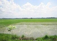 Rice paddy in Nueva Ecija