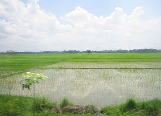 San Leonardo, Nueva Ecija - Rice paddies of San Leonardo, Nueva Ecija.