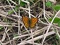 NZ Common copper butterfly, male 01.JPG