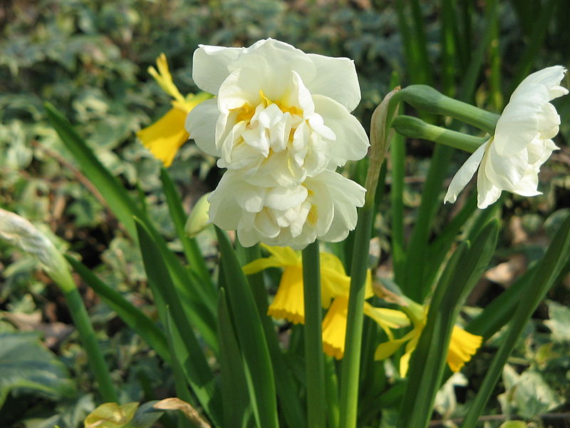 Αποτέλεσμα εικόνας για νάρκισσος λουλούδι
