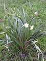 Narcissus papyraceus habitus 2010-3-14 DehesaBoyalPuertollano.jpg