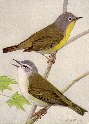 Nashville and Tennessee Warblers NGM-v31-p312-A.jpg