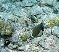 Naso lituratus Novaculichthys taeniourus and Labroides phthirophagus.jpg