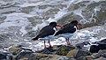 Nationalpark Niedersächsisches Wattenmeer.Austernfischer auf Norderney 08.jpg