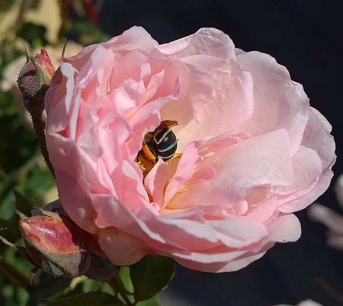 File:Native bee in an imported rose.jpg