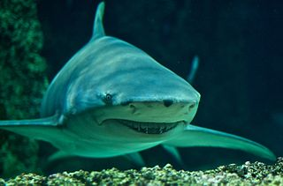 Sicklefin lemon shark Species of shark