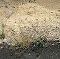 Negev Unknown Plant, Large Makhtesh Crater, Negev Desert, Israel (469186033).jpg