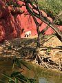 Nehru Zoological Park White Tiger.jpg