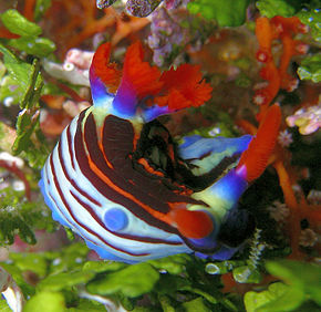 alt=Description de l'image Nembrotha purpureolineata.jpg.