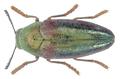 Neojulodis rufolimbata (Fairmaire, 1888).png