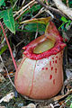 Nepenthes sibuyanensis ASR 062007 guiting2 sibuyan.jpg