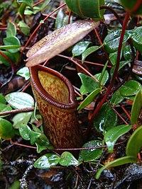 Nepentheslamiilowerpitcher2800.jpg