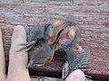 Nestling Common Grackle showing pterylae (5430007050).jpg