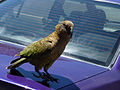 Nestor notabilis -Arthur's pass -on car-8.jpg