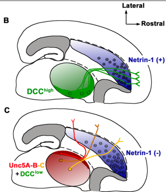 Netrin - Netrin 1 knockout disrupts thalamocortical projections topography in the mouse brain. From Powell et al., 2008.