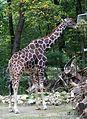 Netzgiraffe (Giraffa camelopardalis reticulata) Tierpark Hellabrunn-11.jpg
