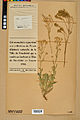 Neuchâtel Herbarium - Aurinia saxatilis - NEU000022634.jpg