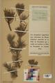 Neuchâtel Herbarium - Pinus sylvestris - NEU000003761.tiff