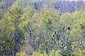 Neun Seeadler.jpg