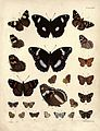 New Zealand Moths and Butterflies (1898) 12.jpg